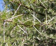 gröna långa vita taggtaggar för buske royaltyfri foto