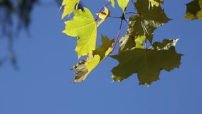 Gröna lönnlöv över en blå himmel lager videofilmer