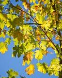 Gröna lönnlöv mot klar blå himmel Arkivbild