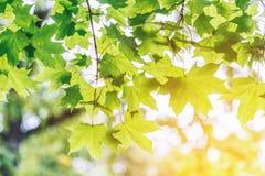 Gröna lönnlöv och solljus Arkivbilder