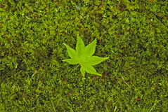 Gröna lönnlöv på grönt gräs Arkivfoto