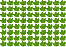 Gröna lönnlöv på vit bakgrund Arkivbilder