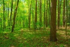 Gröna lövfällande Forest Summer Nature Sunny Trees And Green Gras Arkivbild