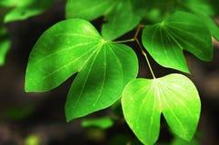 Gröna lövverk Fotografering för Bildbyråer