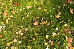 gröna lawnleaves för höst Royaltyfria Foton