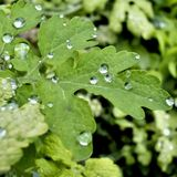gröna leafraindrops Arkivbild