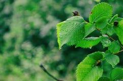 gröna leafraindrops Fotografering för Bildbyråer