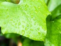 gröna leafraindrops för bakgrund Arkivfoto
