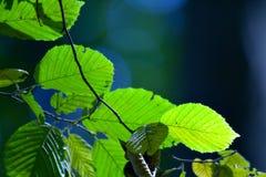 gröna leafs arkivbilder
