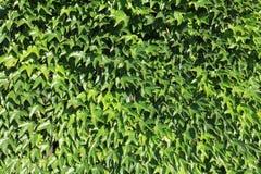 gröna leafs stock illustrationer