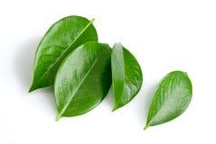gröna leafs fotografering för bildbyråer