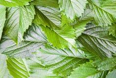 gröna leafs för bakgrund Arkivfoto