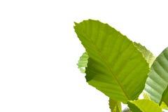 Gröna Leaves som isoleras på en vitbakgrund Royaltyfria Foton