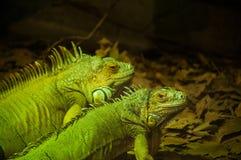 gröna leguaner Fotografering för Bildbyråer