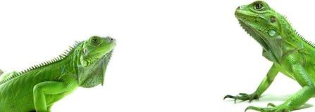 gröna leguaner två royaltyfria foton