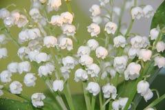 gröna liljadalwaterdrops Royaltyfria Bilder