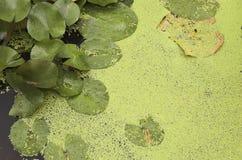 gröna lillypads royaltyfri foto