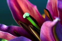 Gröna Lily Stamen Fotografering för Bildbyråer