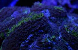 Gröna Lobophyllia Brain Coral Arkivbild