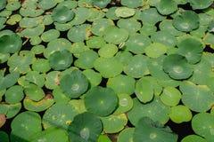 Gröna Lotus Leaf Background Royaltyfria Bilder