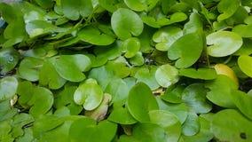 Gröna lotusblommasidor i det vattniga dammet Arkivfoton