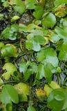 Gröna lotusblommasidor i det vattniga dammet, selektiv fokus Arkivbild