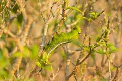 Gröna mån- Caterpillar Royaltyfri Foto