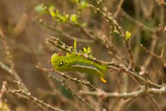 Gröna mån- Caterpillar Royaltyfria Foton
