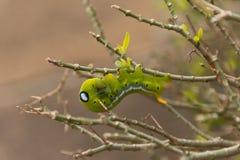 Gröna mån- Caterpillar Fotografering för Bildbyråer