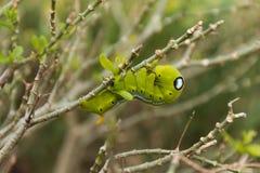 Gröna mån- Caterpillar Arkivfoto
