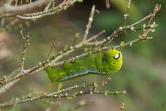 Gröna mån- Caterpillar Arkivfoton