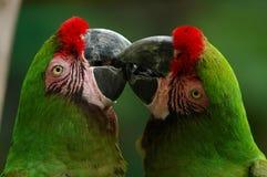 gröna macaws arkivfoton