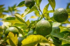 Gröna mandariner växer på träd Omogen citrus mandarine på grön filial Arkivfoton