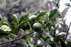 gröna mandarins för filial Arkivfoto