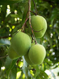 gröna mango Royaltyfria Foton
