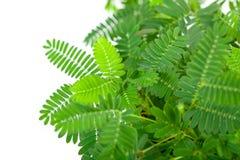 Gröna mjuka blad av mimosapudicaen Arkivfoton