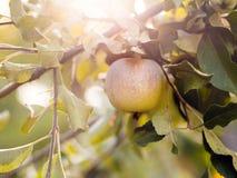 Gröna mogna äpplen på en närbild för trädfilial på skördtid royaltyfri fotografi