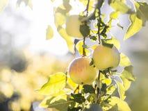 Gröna mogna äpplen på en närbild för trädfilial på skördtid arkivfoto