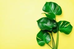 Gröna monsterasidor på gul bakgrund med kopieringsutrymme Top beskådar Minsta design exotisk växt Idérik sommarlägenhet fotografering för bildbyråer