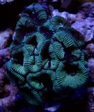 Gröna Montastrea Brain Coral Royaltyfri Fotografi