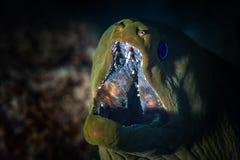 Gröna Moray Eel Close-Up arkivfoton