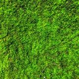 Gröna Moss Plant Background Fotografering för Bildbyråer