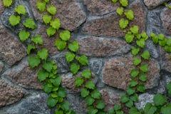 Gröna murgrönaklättringar på bakgrund för tegelstenvägg Arkivbilder