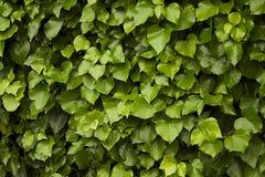 gröna murgrönaleaves för bakgrund Arkivfoton