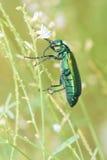 Gröna muscaehispanicae Arkivbild