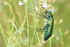 Gröna muscaehispanicae Fotografering för Bildbyråer