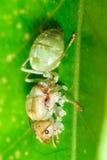 Gröna myror Arkivfoto