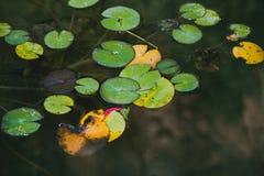 Gröna näckrossidor i dammslut upp fotografering för bildbyråer