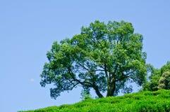 gröna naturliga trees Royaltyfri Bild