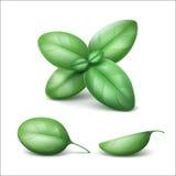 Gröna nya Basil Leaves Close som isoleras upp stock illustrationer